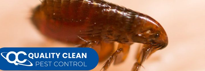 4 Ways in Which Fleas Can Be Controlled from your Homes